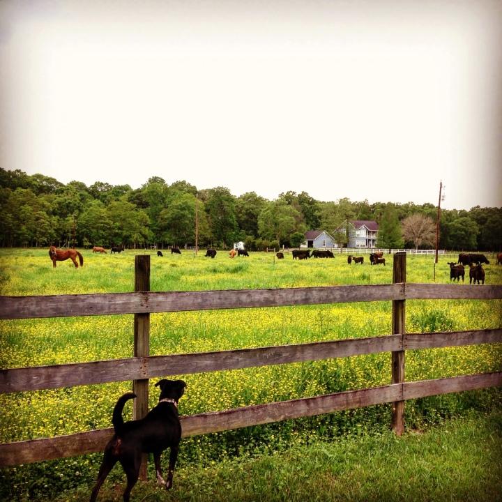 Cows, Sparkle and Abby James