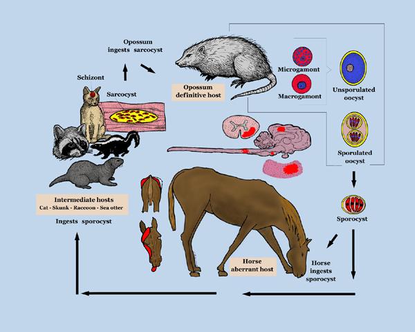 Equine_Protozoal_Myeloencephalitis_life_cycle