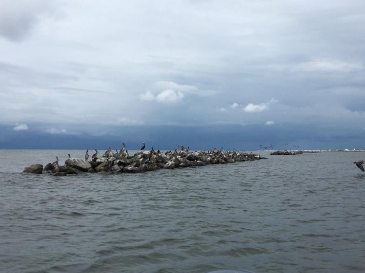 Pelican Paradise - Grand Isle 2016