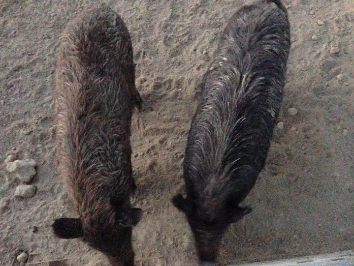 hogs-growth-spurt