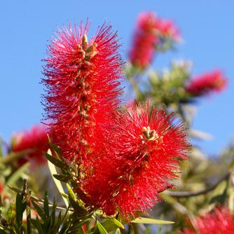 bottlebrush-bloom