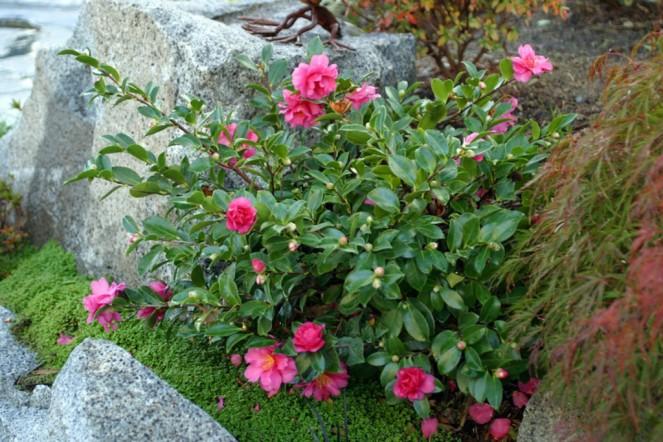 camellia-bloom