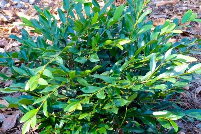 distylium-plant