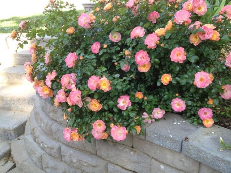 peach-drift-rose-bloom