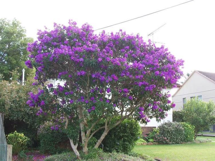 tibouchina-tree