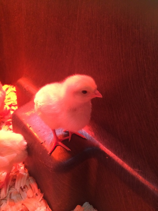 Chick in Brooder 2