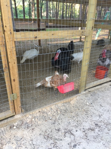 Gioia Poultry Farm 2