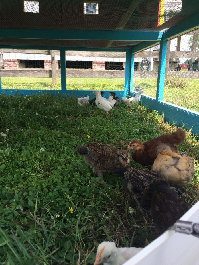 Chick Playtime