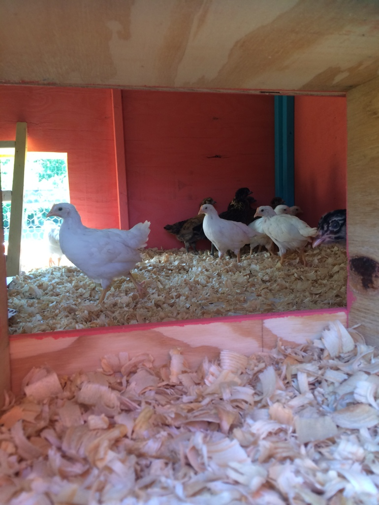 Chicks in Coop 3