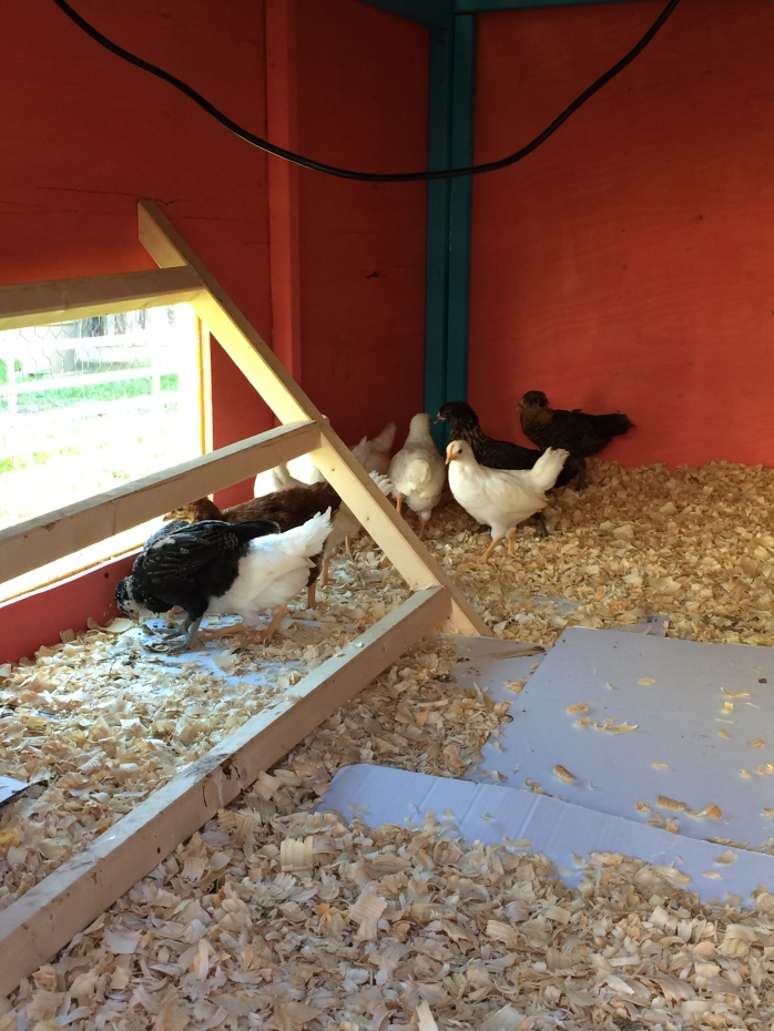 Chicks in the Coop 5