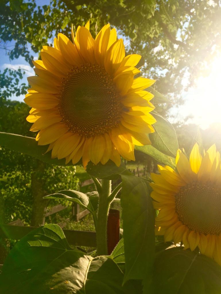 Sunflowers 2