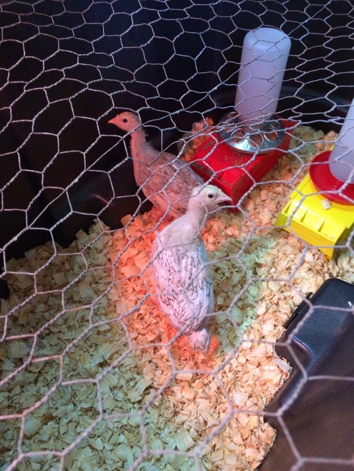 Turkey Brooder