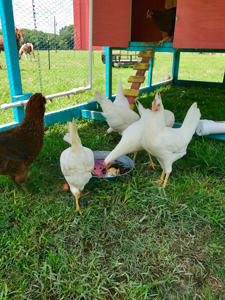 Chickens enjoying freeze treat 2