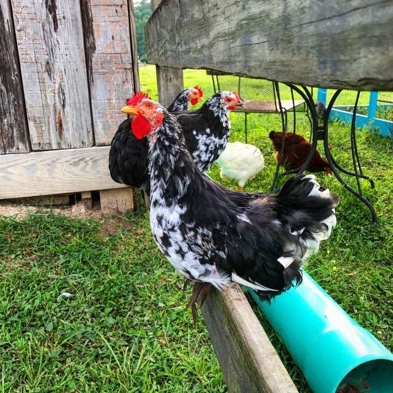 Foghorn, Elvis and Priscilla