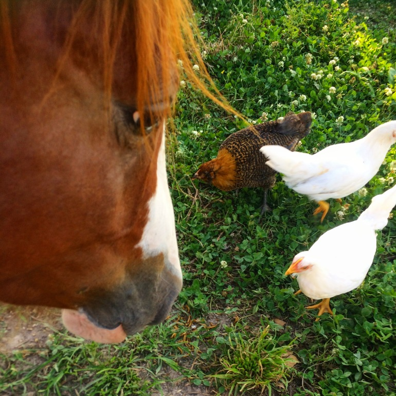 Freedom and Chickens