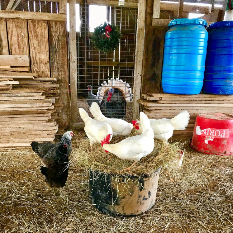 Chickens in hay bale