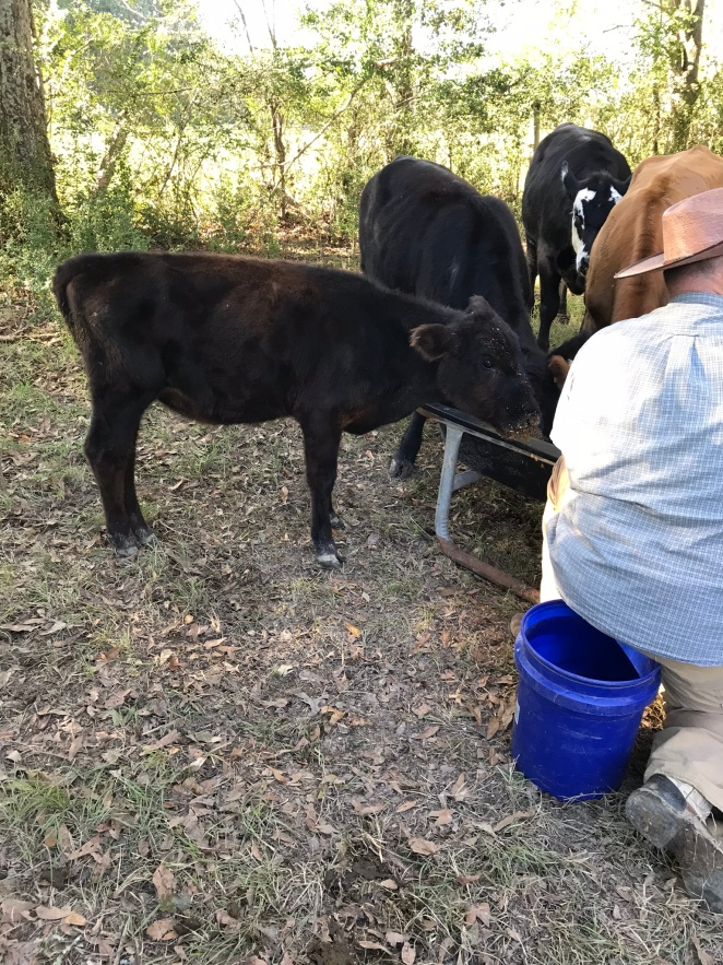 Ruby Sue with herd eating