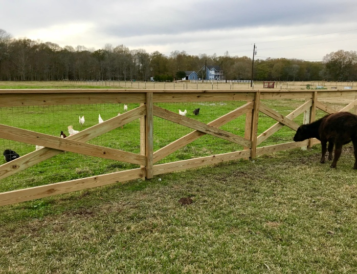 Ruby watching chickens
